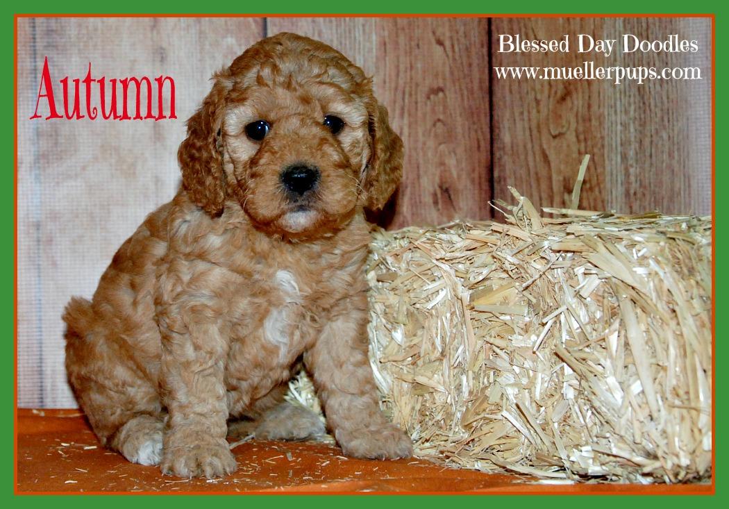 F1b Miniature Goldendoodle Breeder