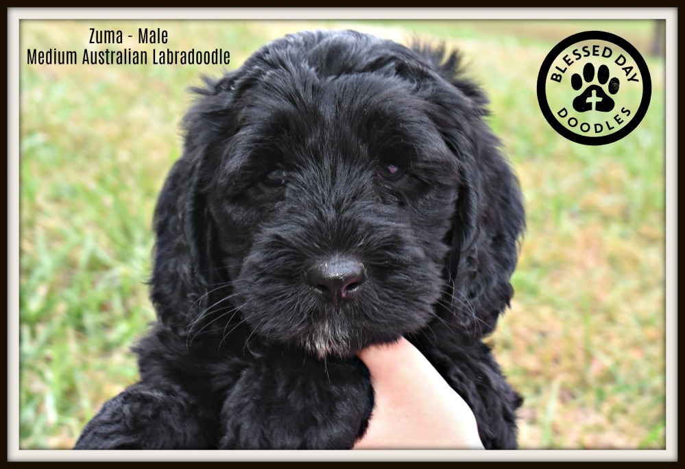 Doodle Puppies Missouri Blessed Day Labradoodles