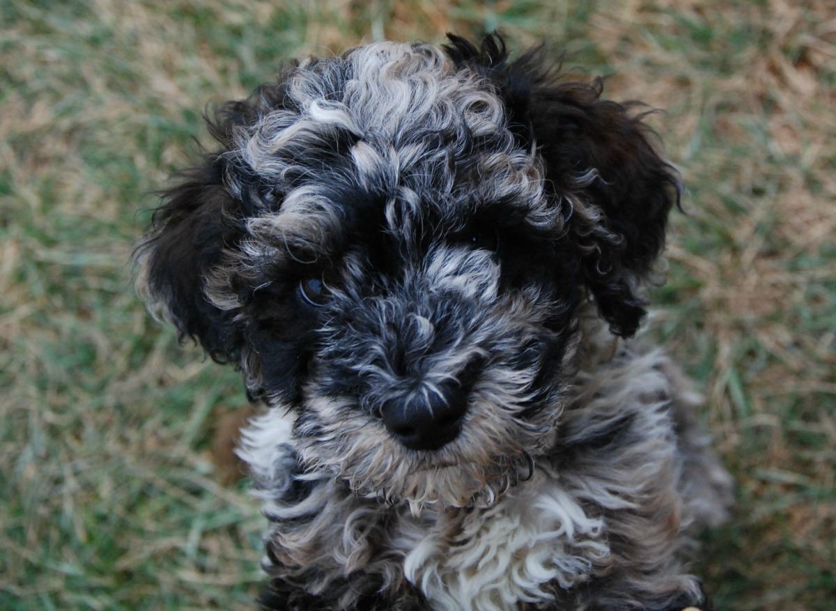 Australian Labradoodle Dog Breeder