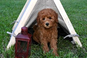 Australian Labradoodle & F1B Goldendoodle - Puppies for Sale & Breeder