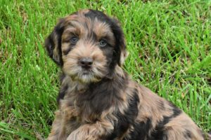 Mini Labradoodle Goldendoodle Puppies For Sale In Missouri
